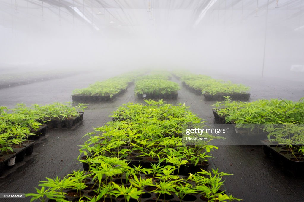 Marijuana plants grow at the PharmaCielo Ltd. facility in Rionegro, Colombia, on Thursday, April 26, 2018. Following the 2015 legalization of medical marijuana by Colombian President Juan Manuel Santos, the Canadian company PharmaCielo opened an operational base in the South American country, becoming the first company to apply for and receive the Colombian licences for cannabis cultivation. Photographer: Eduardo Leal/Bloomberg via Getty Images