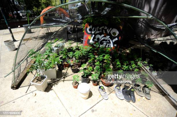 Marijuana plants grow during a camp outside the country's Senate building, Mexican marijuana activists have been camping outside the Senate, growing...