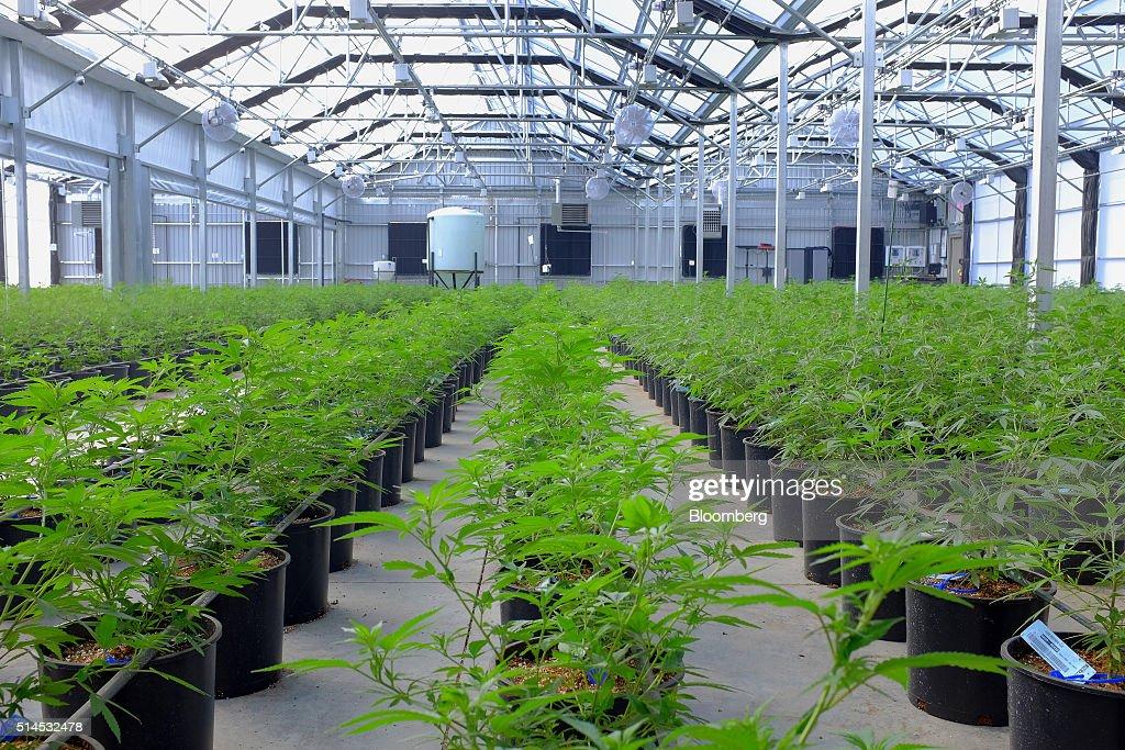 Marijuana Growing At Los Suenos Farms As Colorado's $1-Billion Pot Industry Saves Towns : News Photo