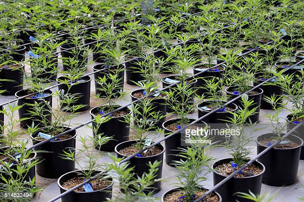 Marijuana plants grow in a greenhouse at the Los Suenos Farms facility in Avondale Colorado US on Thursday Feb 25 2016 About 938 dispensaries which...