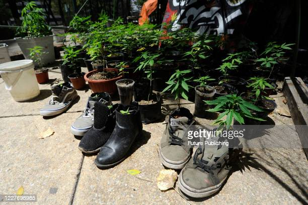 Marijuana plants grow inside a pair of discarded tennis shoes during a camp outside the country's Senate building, Mexican marijuana activists have...