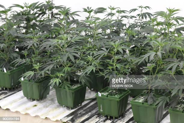 Marijuana plants grow under artificial light at the Green Pearl Organics dispensary on the first day of legal recreational marijuana sales in...