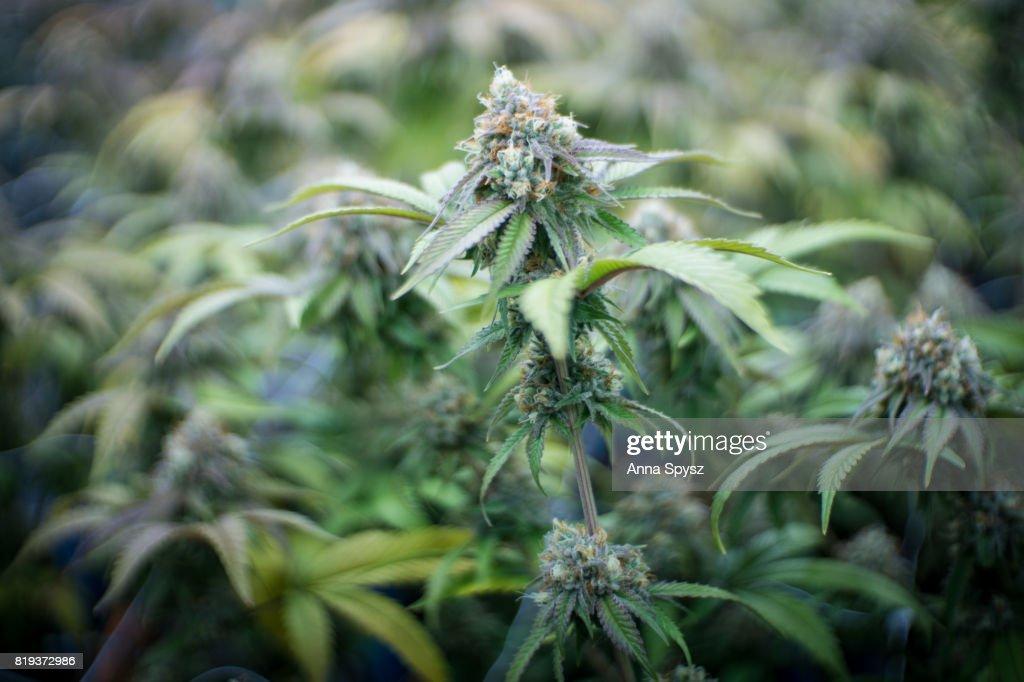 Marijuana plants : Stock Photo