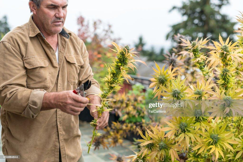 Marijuana plants ready to harvest : Stock Photo