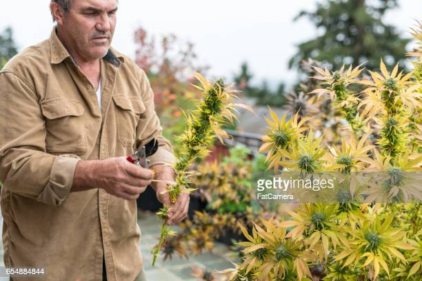 Marijuana plants ready to harvest