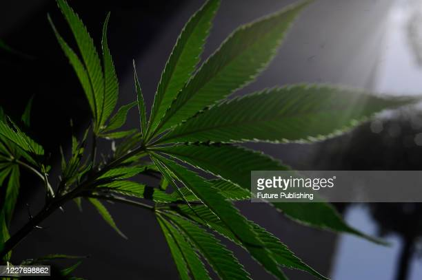Marijuana plants seen during a camp outside the country's Senate building, Mexican marijuana activists have been camping outside the Senate, growing...