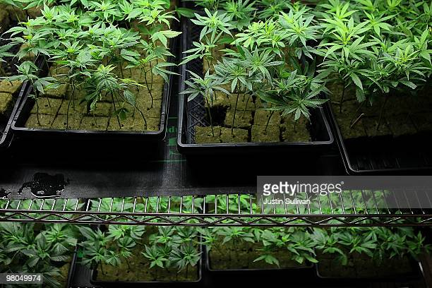 Marijuana plants sit on a rack at the Berkeley Patients Group March 25 2010 in Berkeley California California Secretary of State Debra Bowen...