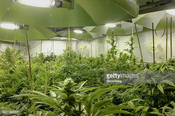 Marijuana plants stand in a flower room at the grow facility for Sense of Healing dispensary in Denver Colorado US on Wednesday Dec 9 2015 The $35...