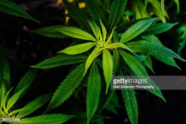 marijuana pot weed cannabis indica - medical cannabis stock pictures, royalty-free photos & images