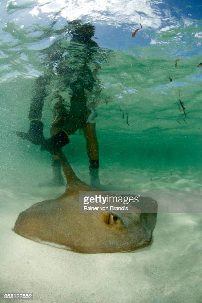 marine biologist captures stingray - biologist stock pictures, royalty-free photos & images