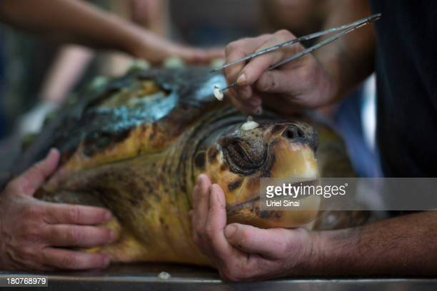 Marine biologist Yaniv Levy tends to Loggerhead turtle covered with Barnacles at the sea turtle rescue center on September 15, 2013 in Mikhmoret...
