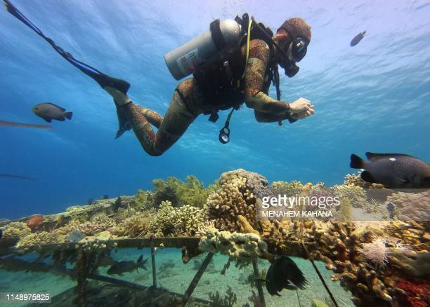 Marine biology university employee inspects corals growing on tables in the Red Sea as a part of a research in the Interuniversity Institute for...