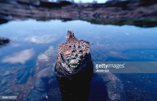 Marine Iguana Amblyrhynchus cristatus Ecuador South America Galápagos Galapagos Island Pacific Ocean