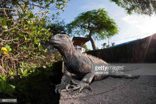Marine Iguana Amblyrhynchus cristatus Puerto Ayora Santa Cruz Island Galapagos Ecuador