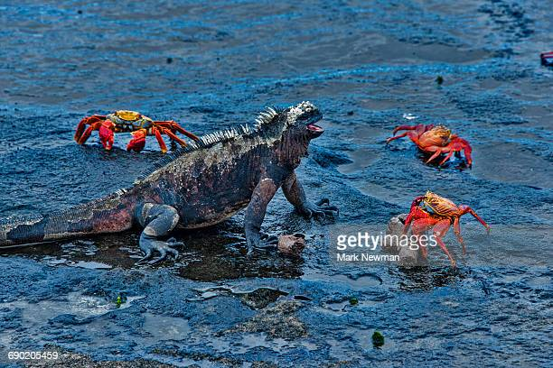 marine iguana and sally lightfoot crabs - crab stock pictures, royalty-free photos & images