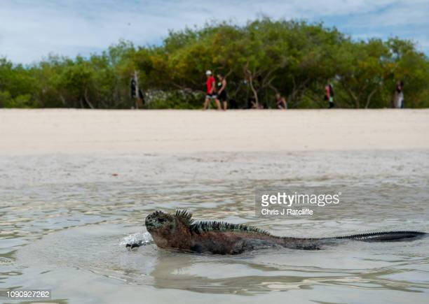 Marine iguana endemic to the Galapagos swims on a beach on Santa Cruz island on January 24 2019 in Galapagos Islands Ecuador A growing human...