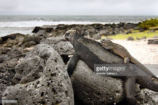 marine iguana family - galapagos islands national park stock photos and pictures