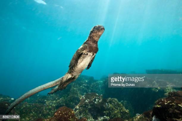 Marine Iguana feeding at Sea Amblyrhynchus cristatus Cabo Douglas Galapagos Fernandina Island Ecuador
