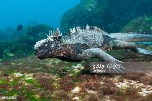 Marine Iguana feeding at Sea Amblyrhynchus cristatus Cabo Douglas Fernandina Island Galapagos Ecuador