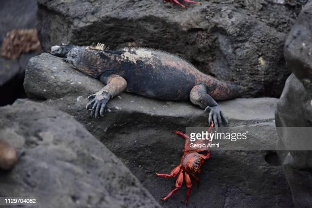 Marine Iguana in San Cristobal Galapagos