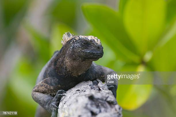 marine iguana lounging on a limb - iguana family stock photos and pictures