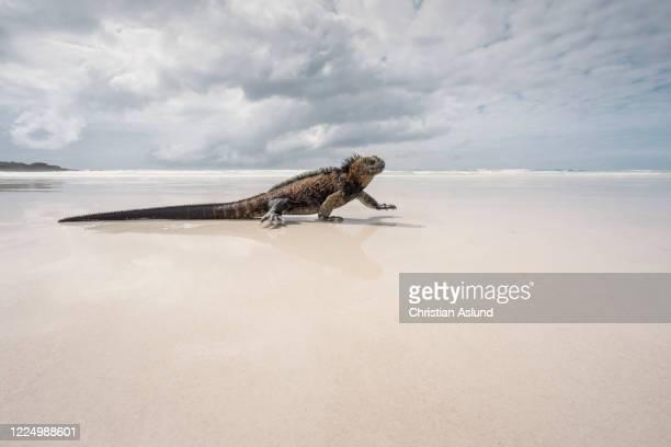 marine iguana on a beach with white sand at tortuga bay outside puerto ayora , santa cruz island, galapagos - isla de santa cruz islas galápagos fotografías e imágenes de stock