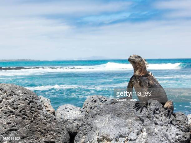 marine iguana on rock at beach against sky - land iguana imagens e fotografias de stock