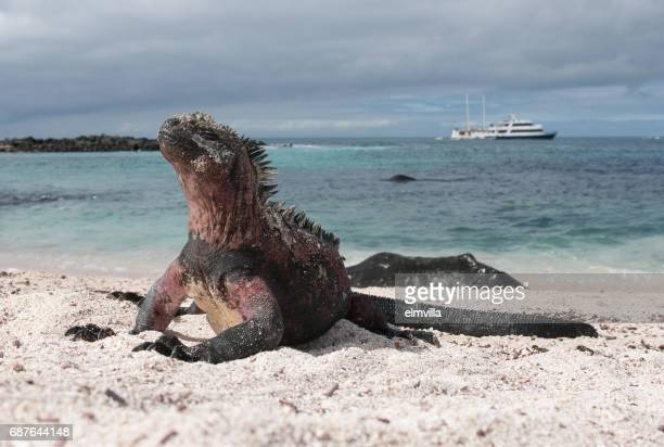 Marine Iguana on the beach of Espanola, the Galapagos