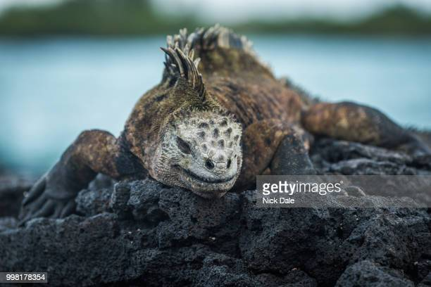 Marine iguana on volcanic rocks beside sea