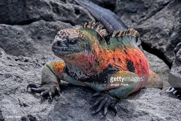 marine iguana - galapagos islands stock pictures, royalty-free photos & images