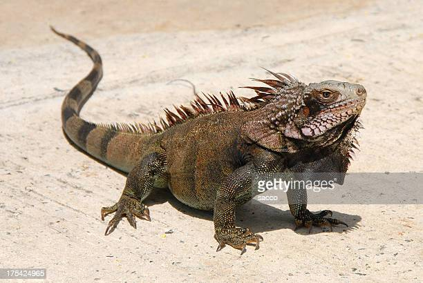 marine iguana - iguana stock photos and pictures