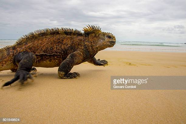 Marine Iguana running on the beach