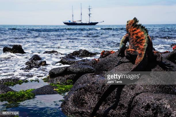 a marine iguana sitting on rocks overlooking a ship in the ocean - land iguana imagens e fotografias de stock