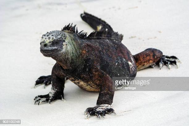 marine iguana walking on white sand beach in the galapagos islands - galapagos islands national park stock photos and pictures