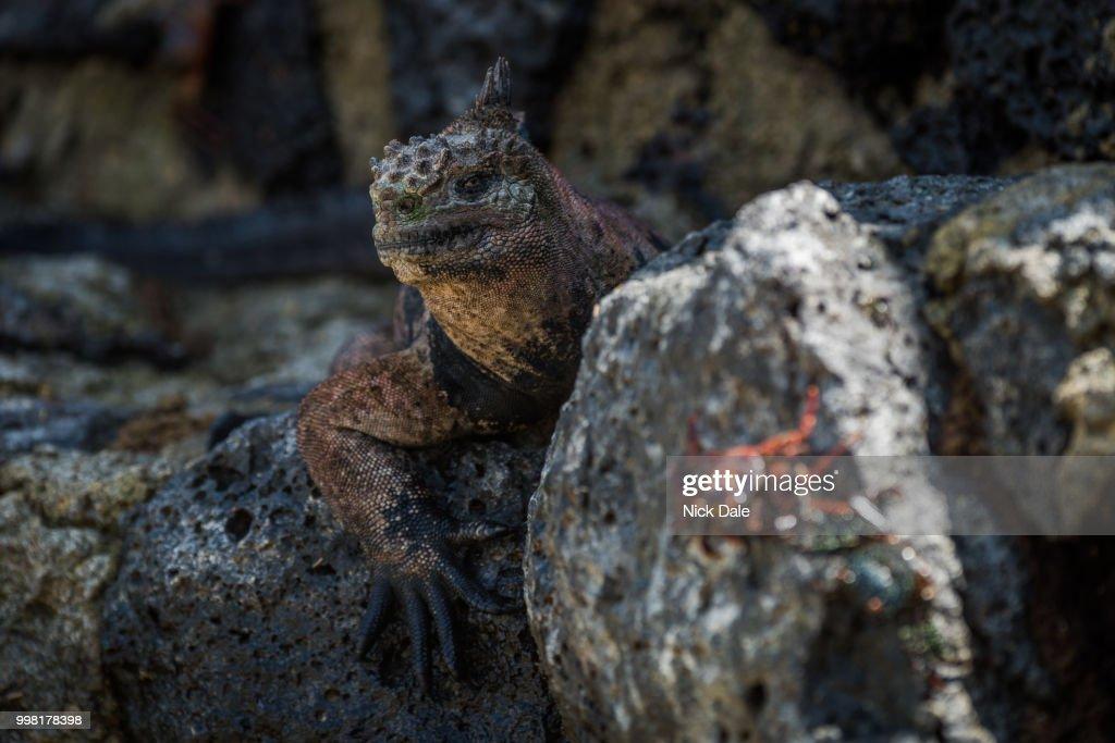 Marine iguana with blurred Sally Lightfoot crab : Stock Photo