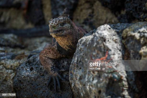 Marine iguana with blurred Sally Lightfoot crab