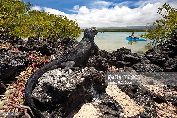 Marine Iguana with tourist looking on