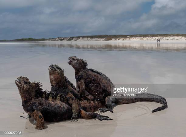 Marine iguanas endemic to the Galapagos mount each other on a beach on Santa Cruz island on January 24 2019 in Galapagos Islands Ecuador A growing...