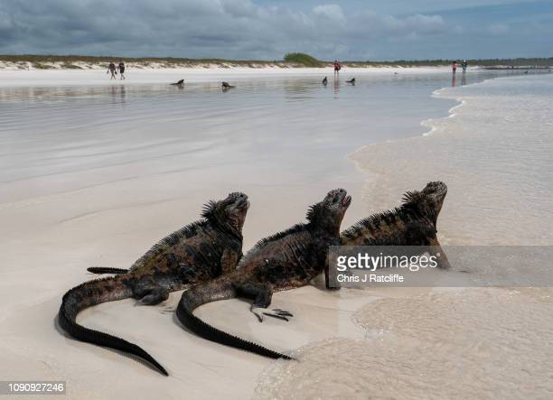 Marine iguanas endemic to the Galapagos on a beach on Santa Cruz island on January 24 2019 in Galapagos Islands Ecuador A growing human population...