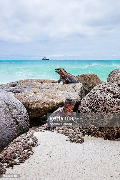 marine iguanas, gardner bay, espanola island - galapagos islands stock pictures, royalty-free photos & images
