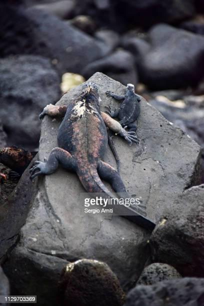 Marine Iguanas in San Cristobal Galapagos