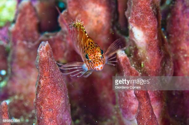 marine life of raja ampat, west papua, indonesia. - hawkfish stock pictures, royalty-free photos & images