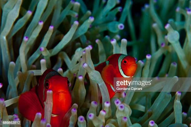 marine life of raja ampat, west papua, indonesia. - damselfish stock photos and pictures