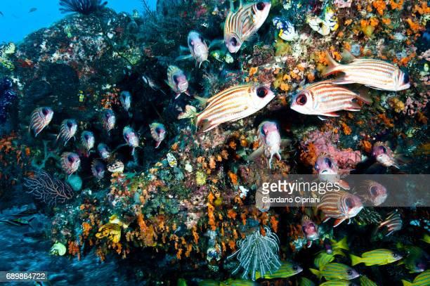 marine life of raja ampat, west papua, indonesia. - squirrel fish stockfoto's en -beelden