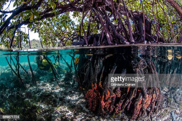 marine life of raja ampat, west papua, indonesia. - mangrove tree stock pictures, royalty-free photos & images