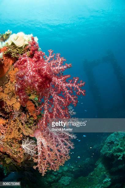 marine life on the fujikawa maru - lagon chuuk photos et images de collection