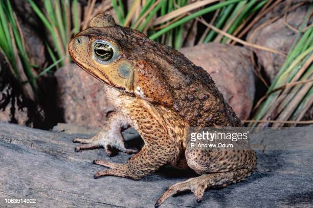 marine toad - cane toad - cane toad stock pictures, royalty-free photos & images