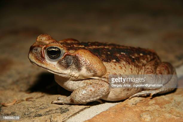 marine toad close-up - cane toad stock pictures, royalty-free photos & images