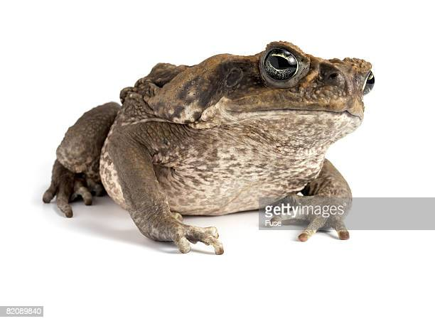 marine toad - cane toad stock pictures, royalty-free photos & images