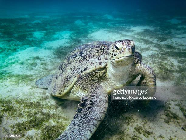 marine turtle in marsa mubarak, egypt - animal behaviour stock pictures, royalty-free photos & images